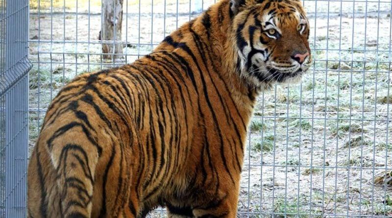 Tygrysy i zabawki fot. Zoo Poznań