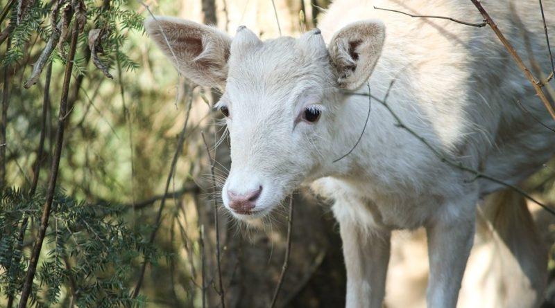 biale sarny 2 fot. nadlesnictwo oborniki 1 800x445 - Oborniki: Znów widziano sarny albinosy