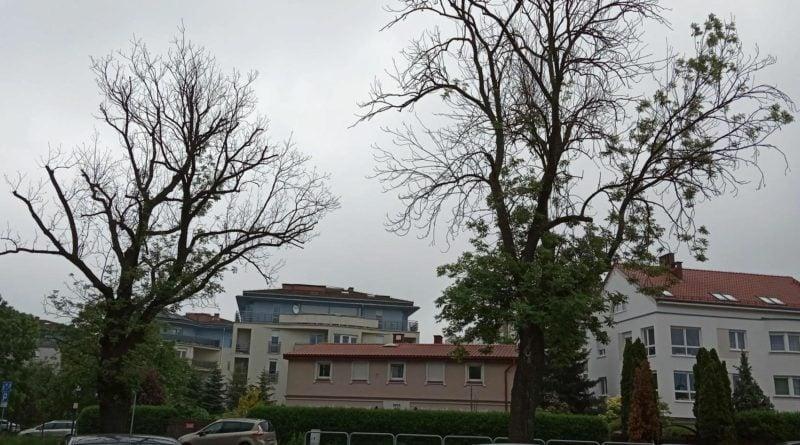 Milczańska drzewa 2 fot. UMP