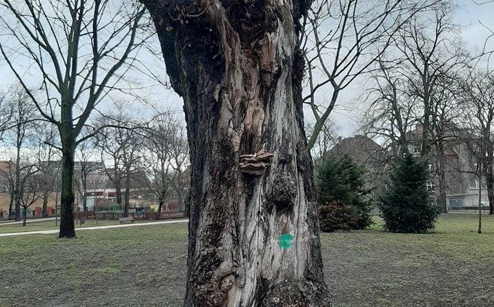 park wieniawskiego drzewa 3 fot. pdm 716x445 - Poznań: Drzewa w parku Wieniawskiego jednak do uratowania!