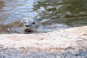 foki zoo poznan fot. slawek wachala 0368 300x200 - Poznań: Co robią zwierzęta, gdy w zoo nie ma ludzi? Zobaczcie foki!