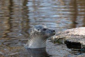 foki zoo poznan fot. slawek wachala 0376 300x200 - Poznań: Co robią zwierzęta, gdy w zoo nie ma ludzi? Zobaczcie foki!