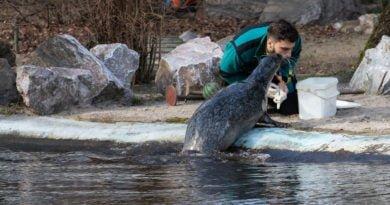 foki zoo poznan fot. slawek wachala 0382 390x205 - Poznań: Co robią zwierzęta, gdy w zoo nie ma ludzi? Zobaczcie foki!