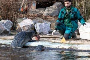 foki zoo poznan fot. slawek wachala 0404 300x200 - Poznań: Co robią zwierzęta, gdy w zoo nie ma ludzi? Zobaczcie foki!