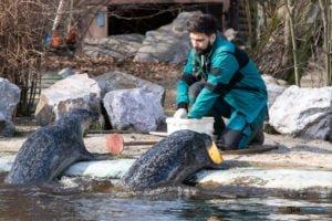 foki zoo poznan fot. slawek wachala 0405 300x200 - Poznań: Co robią zwierzęta, gdy w zoo nie ma ludzi? Zobaczcie foki!