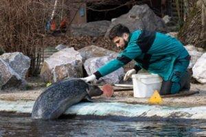 foki zoo poznan fot. slawek wachala 0407 300x200 - Poznań: Co robią zwierzęta, gdy w zoo nie ma ludzi? Zobaczcie foki!