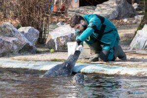 foki zoo poznan fot. slawek wachala 0412 300x200 - Poznań: Co robią zwierzęta, gdy w zoo nie ma ludzi? Zobaczcie foki!