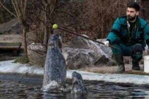 foki zoo poznan fot. slawek wachala 0420 300x200 - Poznań: Co robią zwierzęta, gdy w zoo nie ma ludzi? Zobaczcie foki!