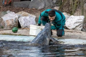 foki zoo poznan fot. slawek wachala 0433 300x200 - Poznań: Co robią zwierzęta, gdy w zoo nie ma ludzi? Zobaczcie foki!