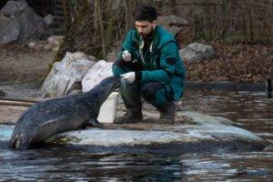 foki zoo poznan fot. slawek wachala 0446 300x200 - Poznań: Co robią zwierzęta, gdy w zoo nie ma ludzi? Zobaczcie foki!