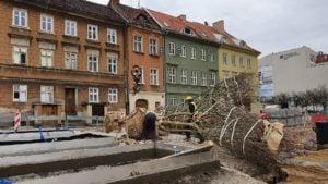 plac kolegiacki sadzenie drzew 4 fot. ump .jpg.jpg.jpg 300x169 - Poznań: Na placu Kolegiackim przybywa zieleni!