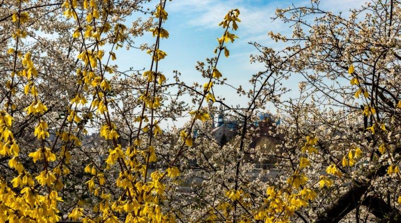 Poznań wiosna kwiaty
