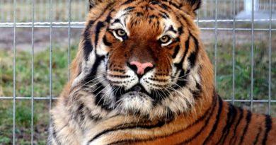 tygrys fot. zoo poznan 390x205 - Poznań: Drugi bieg dla tygrysów
