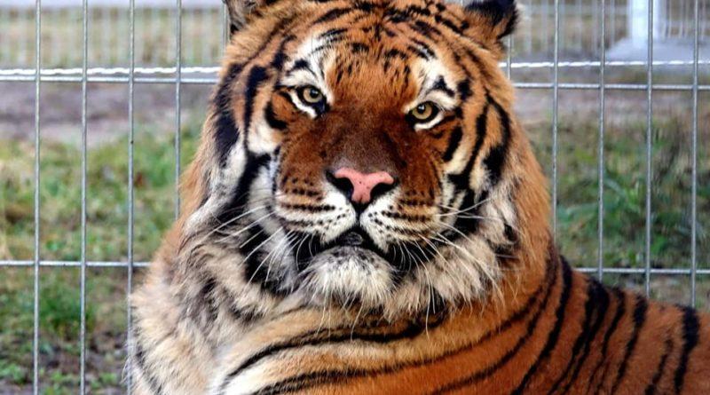 tygrys fot. zoo poznan 800x445 - Poznań: Drugi bieg dla tygrysów