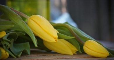 Żółte tulipany fot. MPK