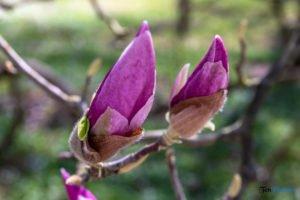 arboretum kornik fot. slawek wachala 6800 300x200 - W Kórniku kwitną magnolie!