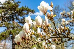 arboretum kornik fot. slawek wachala 6806 300x200 - W Kórniku kwitną magnolie!