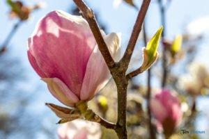 arboretum kornik fot. slawek wachala 6815 300x200 - W Kórniku kwitną magnolie!