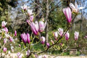 arboretum kornik fot. slawek wachala 6843 300x200 - W Kórniku kwitną magnolie!