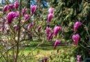 Arboretum w Kórniku magnolie Kórnik fot. Sławek Wąchała