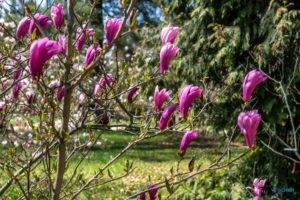 arboretum kornik fot. slawek wachala 6855 300x200 - W Kórniku kwitną magnolie!