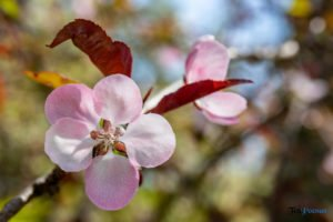 arboretum kornik fot. slawek wachala 6909 300x200 - W Kórniku kwitną magnolie!