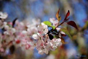 arboretum w korniku fot. magda zajac 2 300x200 - W Kórniku kwitną magnolie!