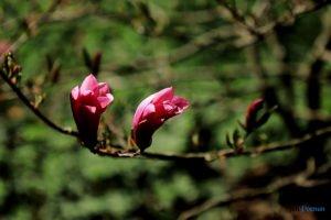 arboretum w korniku fot. magda zajac 5 300x200 - W Kórniku kwitną magnolie!