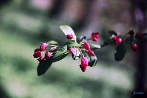 arboretum w korniku fot. magda zajac 6 300x200 - W Kórniku kwitną magnolie!