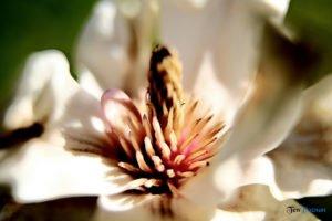 arboretum w korniku fot. magda zajac 7 300x200 - W Kórniku kwitną magnolie!