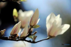 arboretum w korniku fot. magda zajac 8 300x200 - W Kórniku kwitną magnolie!