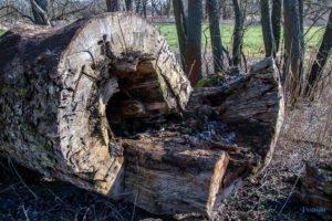 rogalin fot. slawek wachala 4907 300x200 - Rogalin: Protesty przeciwko sadzeniu... drzew. Kto chce zasłonić dęby?