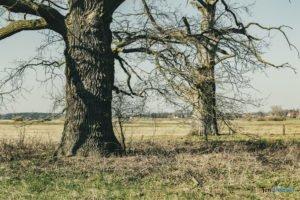 rogalin fot. slawek wachala 4909 300x200 - Rogalin: Protesty przeciwko sadzeniu... drzew. Kto chce zasłonić dęby?