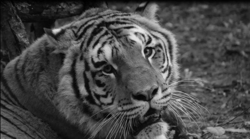 tygrys Gideon fot. Zoo Poznań