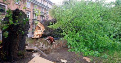 drzewo 2 Marcelińska fot. SMMP