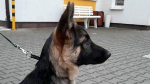zgubiony pies fot. smmp 300x169 - Poznań: Straż miejska znalazła psa. Czy komuś nie zginął?