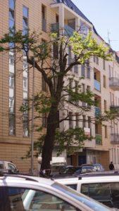 drzewo na sczanieckiej fot. rosl 169x300 - Poznań: Drzewo na Sczanieckiej do wycinki