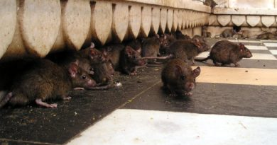 szczury fot. S. Steinberger pixabay