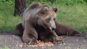 baloo fot. zoo poznan 300x169 - Poznań: Niedźwiedź Baloo przeszedł operację!
