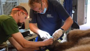 baloo fot. zoo poznan3 300x169 - Poznań: Niedźwiedź Baloo przeszedł operację!