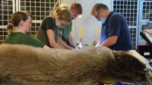 baloo fot. zoo poznan4 300x169 - Poznań: Niedźwiedź Baloo przeszedł operację!