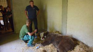 baloo fot. zoo poznan9 300x169 - Poznań: Niedźwiedź Baloo przeszedł operację!