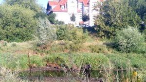 dziki 4 300x169 - Poznań: Dziki w mieście. I to w samym centrum!