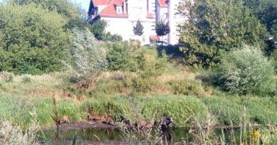 Poznań: Dziki w mieście. Władze Poznania przygotowują program