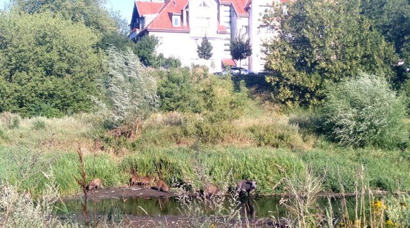 dziki 4 800x445 - Poznań: Dziki w mieście. Władze Poznania przygotowują program