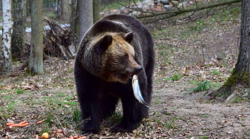 niedźwiedzi lunch fot. Zoo Poznań