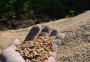 Sieraków: Leśnicy znaleźli w lesie… zboże