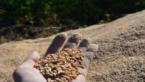 zboze fot. nadlesnictwo sierakow2 300x169 - Sieraków: Leśnicy znaleźli w lesie... zboże