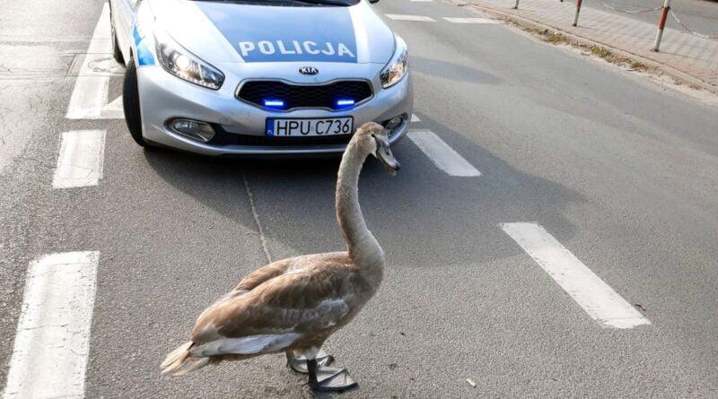łabędź fot. policja