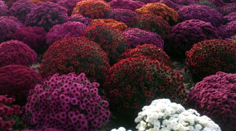 chryzantemy cmentarz 800x445 - Ostrów: Miasto wykupi kwiaty od handlowców